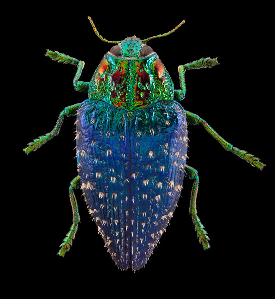 Wood Boring Beetle