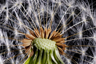 Dandelion Seeds Study