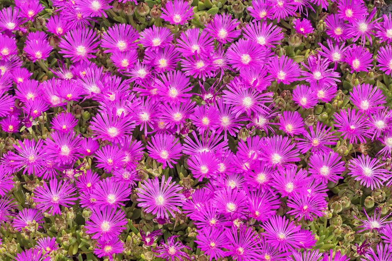 Flowering Succlent, also Stone Plants & Ice Plants -  Delosperma sp.