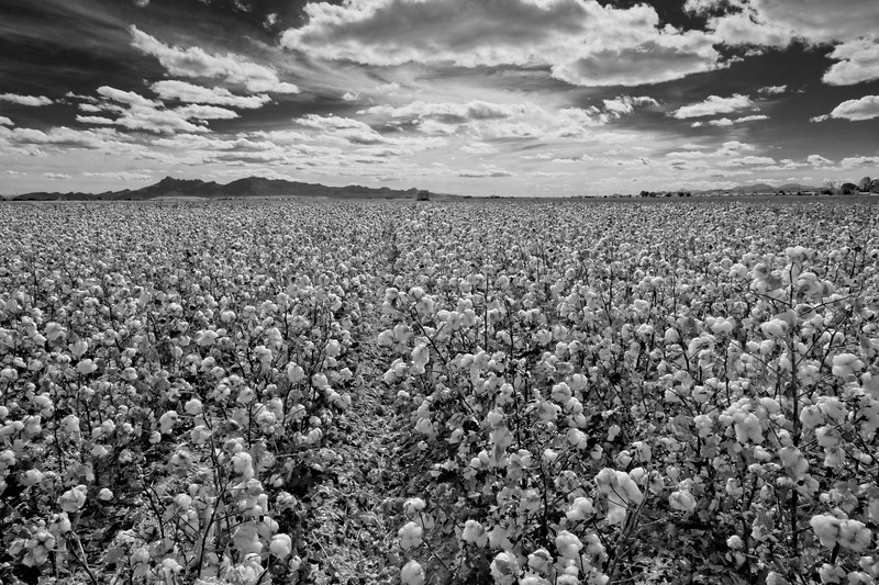 Cotton Ready for Harvest - Farming - Marana, Arizona