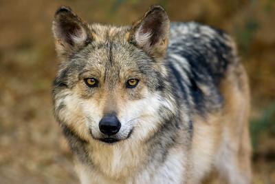 Mexican Wolf, Canis lupus baileyi, Arizona