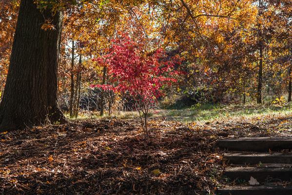 Firebush under the oak.