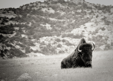 A lone Buffalo relaxes on the grass prairie lands of the Wichita Mountains in Indiahoma (Oklahoma).