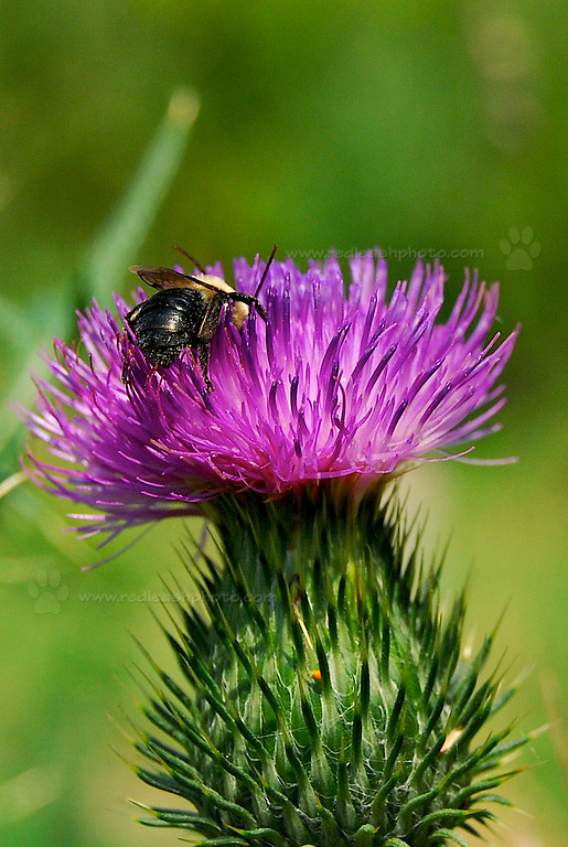 """Bumblebee on Thistle"""