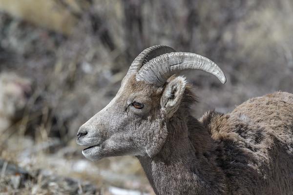 Female bighorn sheep in winter