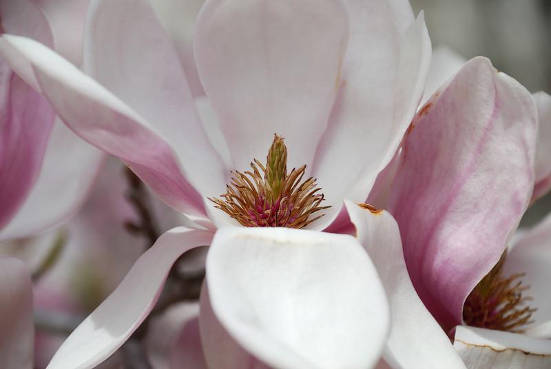Tulip Poplar