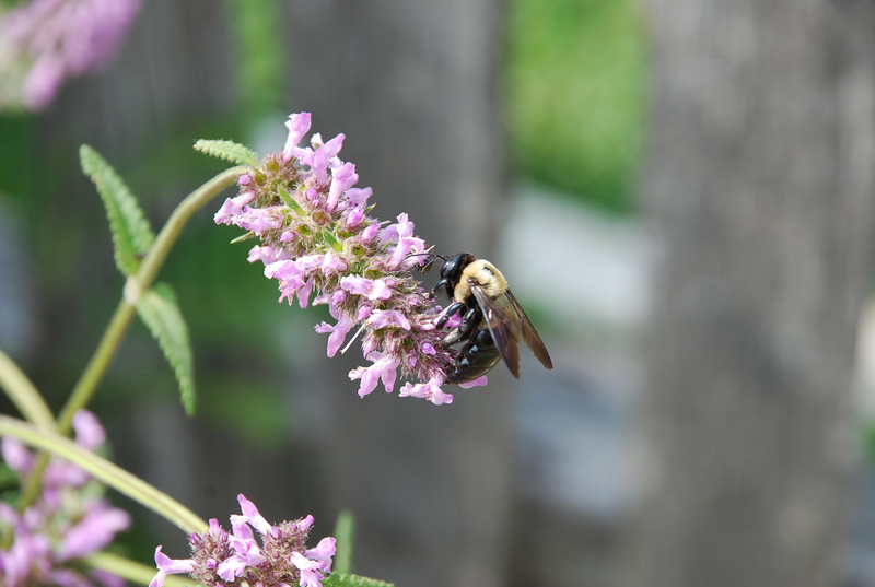 Bee on Blooms, Annapolis, Maryland