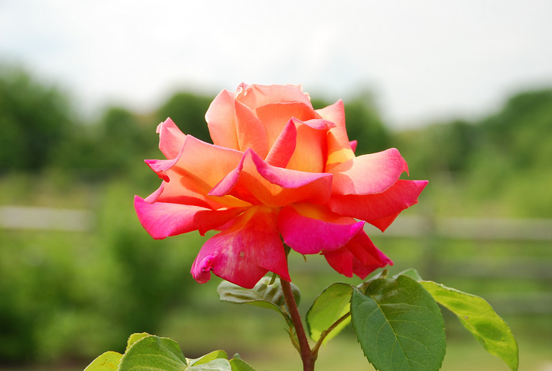 Chicago Peace rose, My Garden