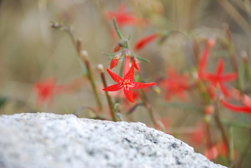 Scarlet Gilia at Pettit Lake.