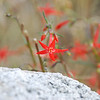 Scarlet Gilia at Pettit Lake.