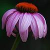 Pink Coneflower, My Garden