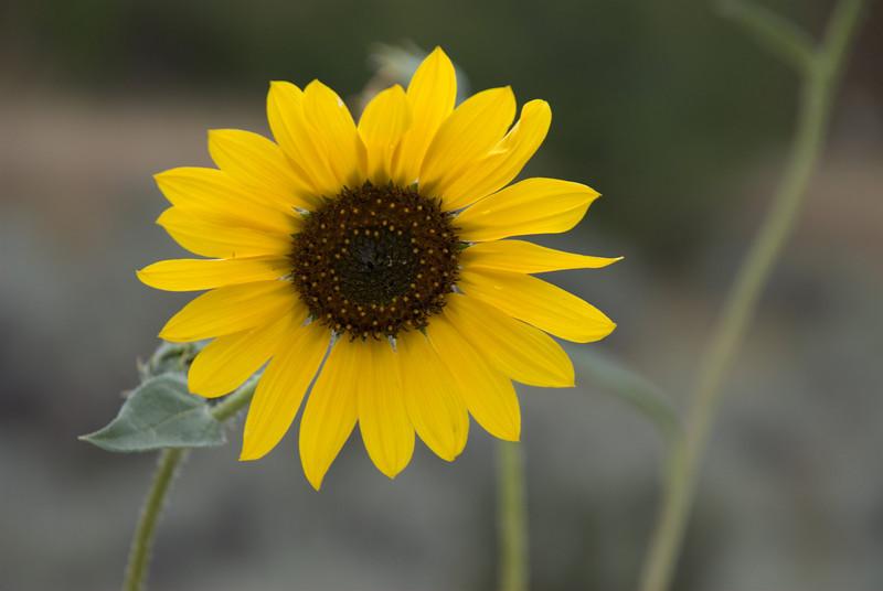 Sunflower near Boise, Idaho.