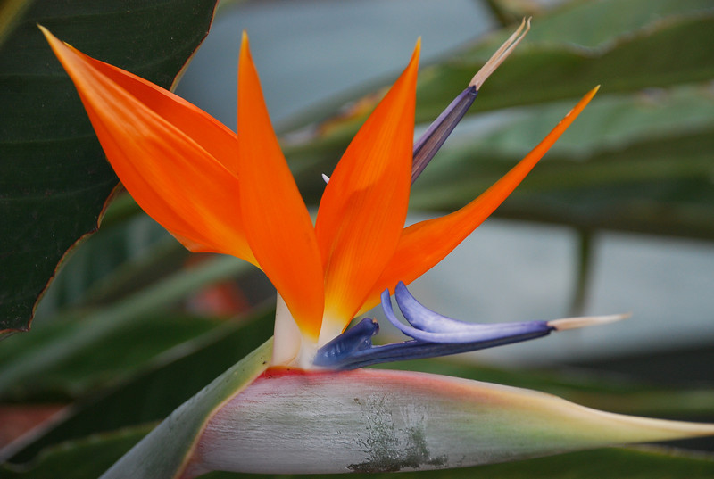 Bird of Paradise, Clearwater, Florida