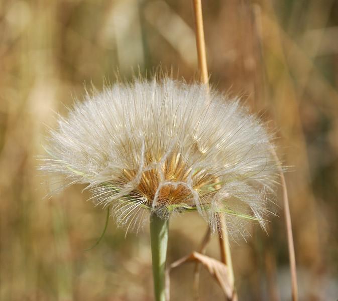 Dandelion near Sun Valley, Idaho