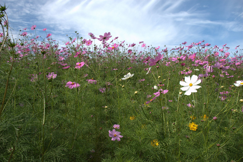 Daisies in the median strip, Crofton, Maryland