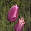 Tulips, Baltimore, Maryland