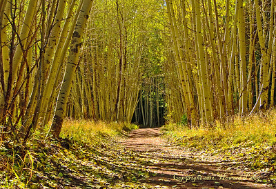 """Yellow Wood"", Mt. Graham, Safford, Arizona."