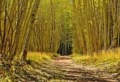 """Yellow Wood"", Mt. Graham, Safford, Arizona."