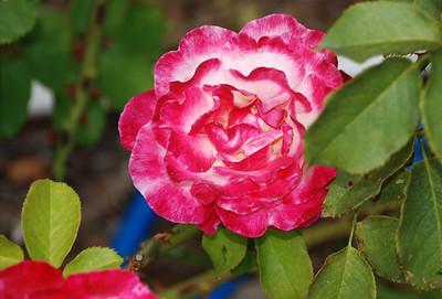 DSC_0007Double Delight rose