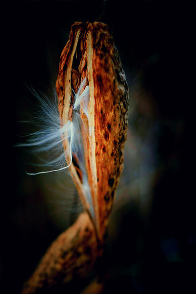 Milkweed Seeds Emerging  From The Pod 1