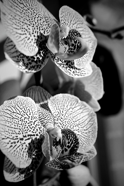 Susan's orchids in monochrome