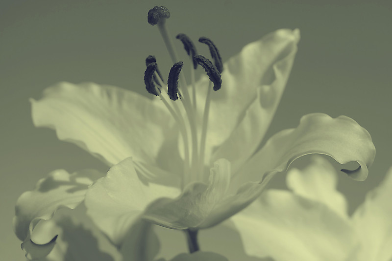 Asian lily macro in monochrome