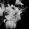 Asian lilies in monochrome