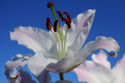 Asian lily macro against a blue sky