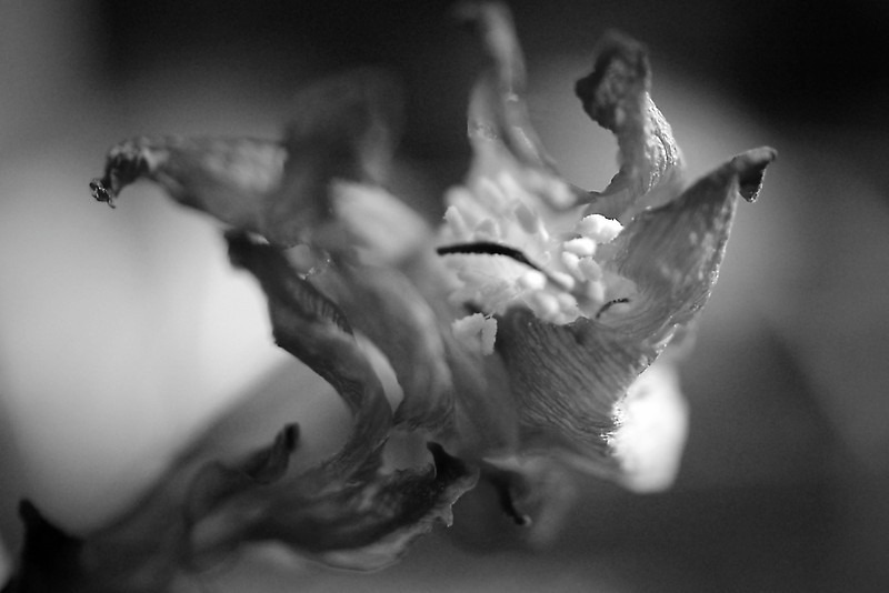 Dried Christmas cactus flower macro