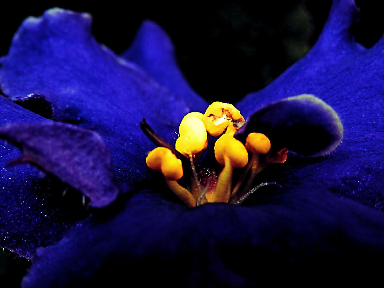 African violet bloom macro in a dramatic edit.