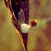 Milkweed pod with seeds emerging