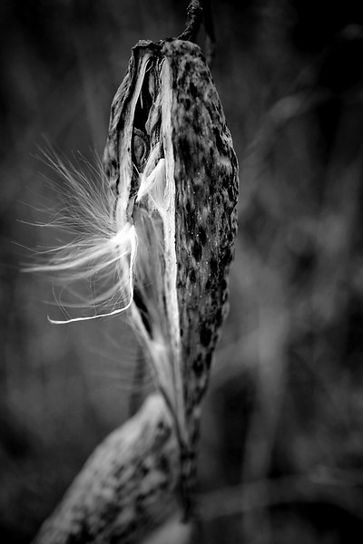 Milkweed Seeds Emerging  From The Pod Monochrome
