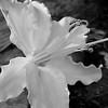 Asian lily macro in monochrome