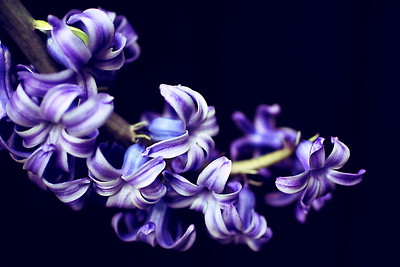 Curved hyacinth bloom