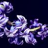 Curved hyacinth bloom