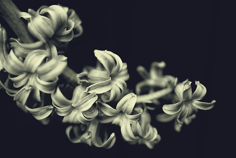 Curved hyacinth bloom in monochrome