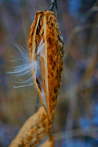 Milkweed Seeds Emerging  From The Pod 2