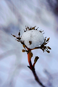 "Dried plant at the park that has a ""snowball"" on it from a recent snowstorm."