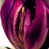 Closed tulip macro