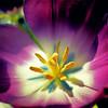 Tulip in the Winter Sun