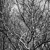 Sycamore and other trees done in monochrome to bring out the textural qualities and remind me of ink drawings or etchings in some respects.