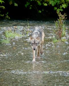 Grey Wolf, Fish Creek. Hyder, Alaska.