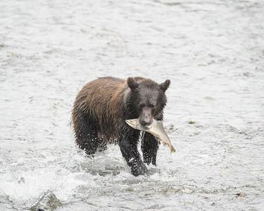 A Brown Bear catches a Salmon, Fish Creek, Hyder, Alaska.