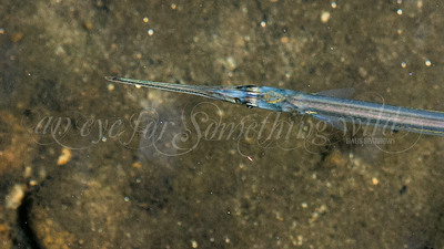 Atlantic Needlefish