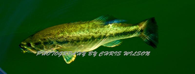 Bass  036