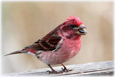 Purple Finch,  (m)