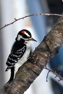 Hairy woodpecker_male