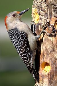 Red-bellied woodpecker_female