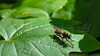 Gold-backed Robber Fly