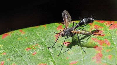 Tachinid Fly (Cordyligaster septentrionalis)